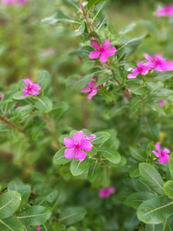 Huawei P9 Pink Flower Outdoors