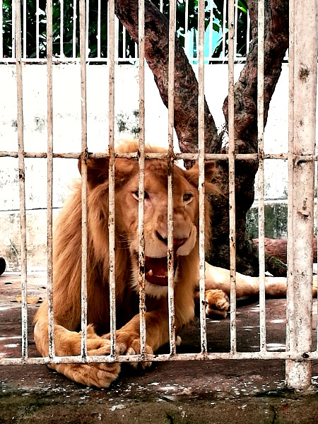 Baluarte Zoo Lion