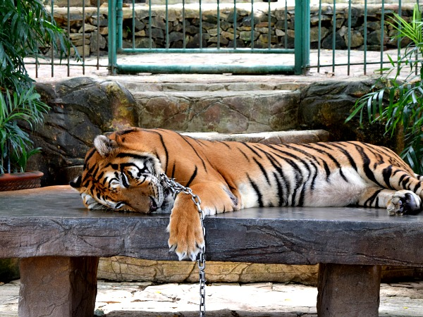 baluarte-zoo-tiger